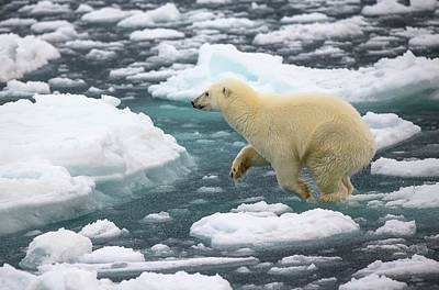 Polar Bear Jumping Across Ice Floes Poster by Peter J. Raymond