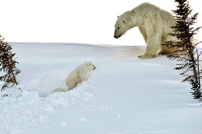 Polar Bear Mother And Cubs Poster