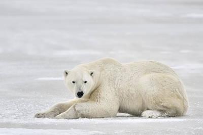 Polar Bear On Pack Ice Churchill Poster by Andre Gilden