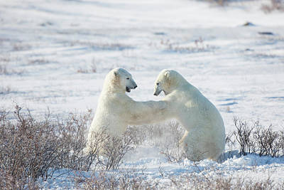 Polar Bears Ursus Maritimus Sparring Poster by Panoramic Images