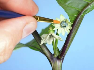 Pollination Of Carolina Reaper Chilli Poster by Cordelia Molloy