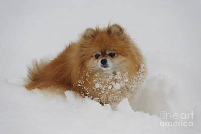 Pomeranian In Snow Poster by John Shaw