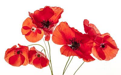 Poppy Flowers On White Poster by Elena Elisseeva