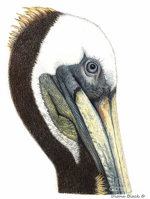 Portrait Of A Pelican Poster
