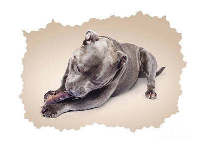 Portrait Of A Purebred Blue Staffie Poster