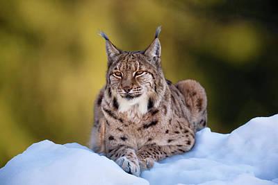 Portrait Of Eurasian Lynx (lynx Lynx Poster by Martin Zwick
