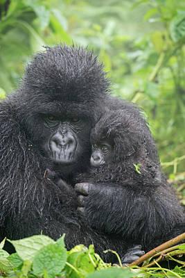 Portrait Of Mountain Gorilla, Gorilla Poster by Tom Murphy