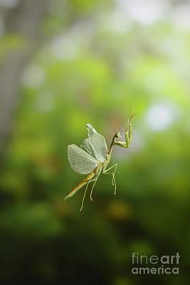 Praying Mantis In Flight Poster by Scott Linstead