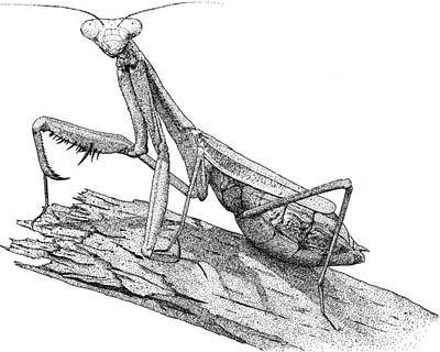 Praying Mantis Poster by Roger Hall