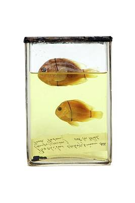 Preserved Fish Poster by Gregory Davies