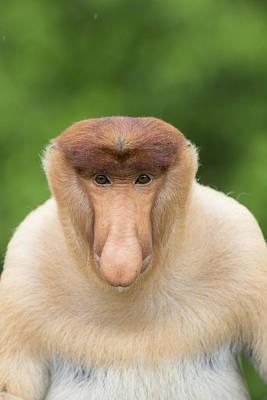 Proboscis Monkey Dominant Male Sabah Poster