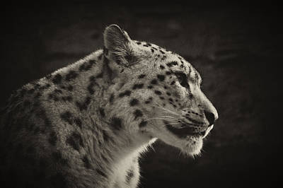 Poster featuring the photograph Profile Of A Snow Leopard by Chris Boulton
