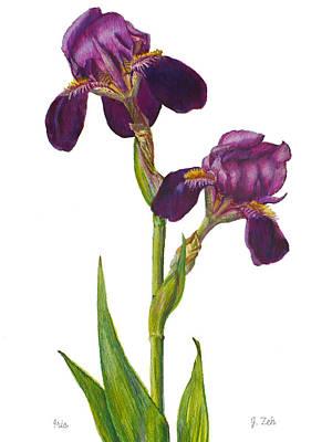 Purple Bearded Iris Poster