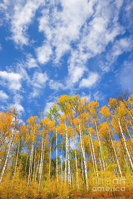 Quaking Aspen Near Alaska Highway Poster