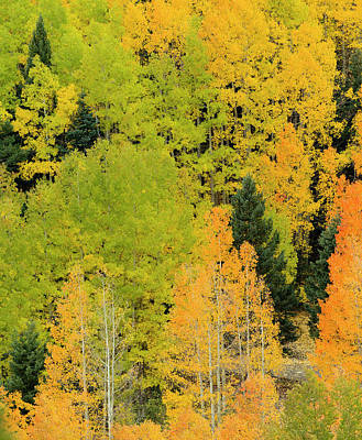 Quaking Aspens In A Fall Glow Poster by Maresa Pryor