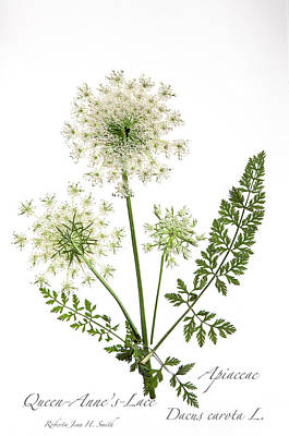 Queen-anne's-lace 2 Poster