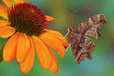 Question Mark Butterfly, Polygonia Poster by Darrell Gulin