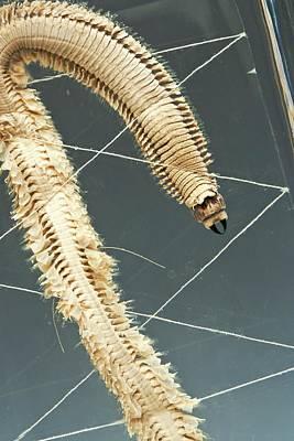 Ragworm Specimen Poster