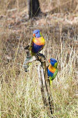 Rainbow Lorikeets Poster by William H. Mullins