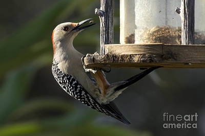 Red Bellied Woodpecker Poster by Meg Rousher