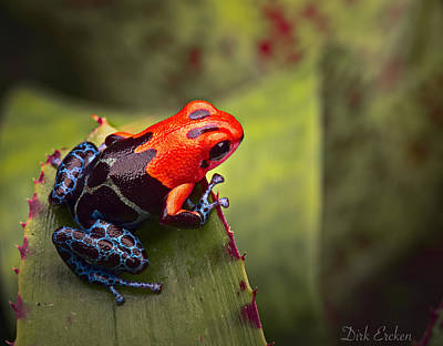 Red Blue Poison Dart Frog Poster