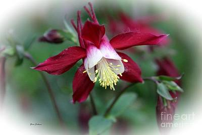 Red Columbine  Poster