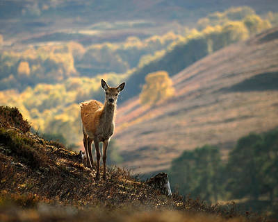 Red Deer Calf Poster