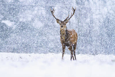 Red Deer Stag In Snowfall Derbyshire Uk Poster