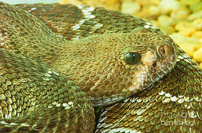 Red Diamondback Rattlesnake Poster