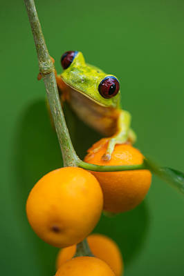 Red-eyed Tree Frog Agalychnis Poster by Panoramic Images