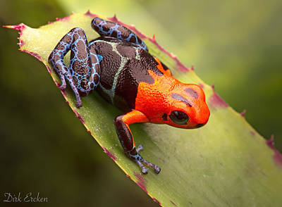 Red Headed Poison Dart Frog Poster