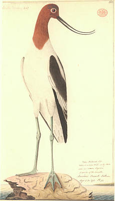 Red-necked Avocet Poster by Natural History Museum, London