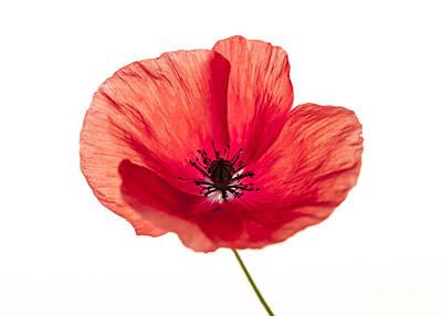 Red Poppy Flower Poster by Elena Elisseeva