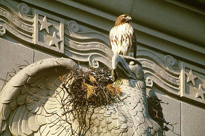 Red-tailed Hawk At Urban Nest Poster by Paul J. Fusco