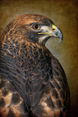 Red-tailed Hawk Buteo Jamaicensis Poster