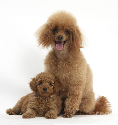 Red Toy Poodle Dog And Puppy Poster by Mark Taylor