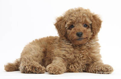 Red Toy Poodle Puppy Poster by Mark Taylor