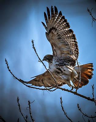 Redtail Hawk Poster by Ernie Echols