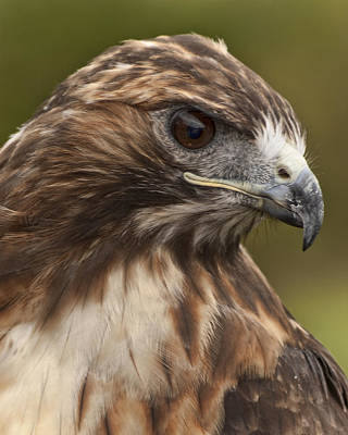 Redtail Hawk Portrait Poster by John Koscinski