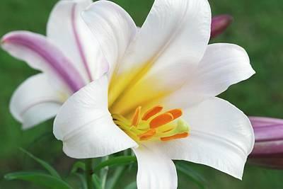 Regal Lily (lilium Regale) Poster