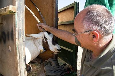 Releasing An Oryx Poster by Photostock-israel