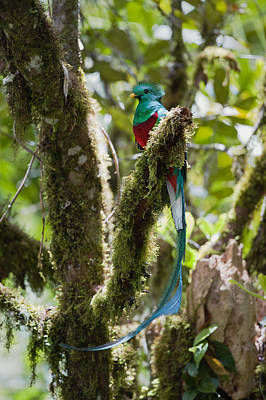 Poster featuring the photograph Resplendent Quetzal Male Costa Rica by Konrad Wothe