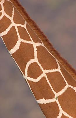 Reticulated Giraffe Giraffa Poster