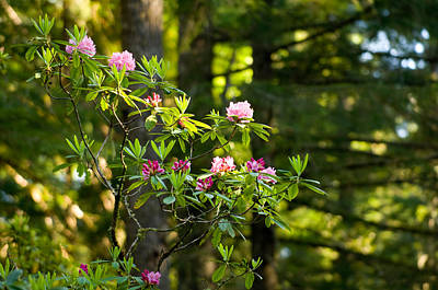 Rhododendron Flowers In A Forest, Del Poster by Panoramic Images