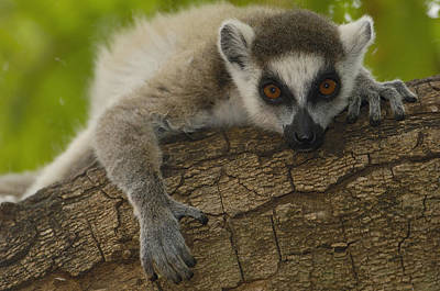 Ring-tailed Lemur Portrait Berenty Poster