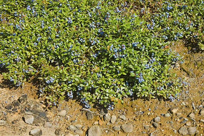 Ripe Maine Low Bush Wild Blueberries Poster