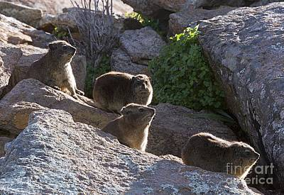 Rock Hyrax Family On Rocks Poster by Bob Gibbons