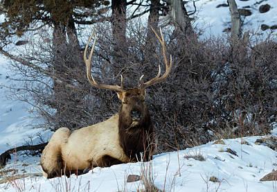 Rocky Mountain Elk Poster