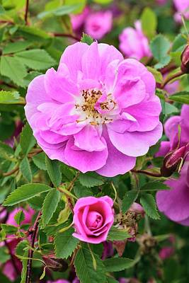 Rosa Californica 'plena' Poster
