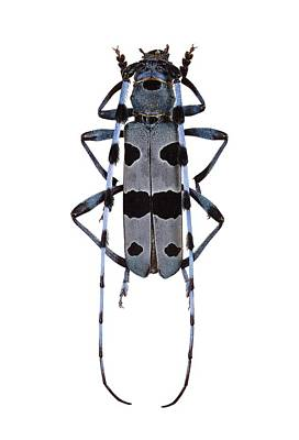 Rosalia Longicorn Beetle Poster by F. Martinez Clavel